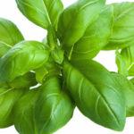 I segreti per una buona semina del basilico